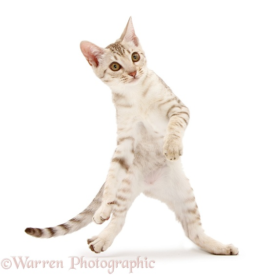Ocicat kitten dancing, white background