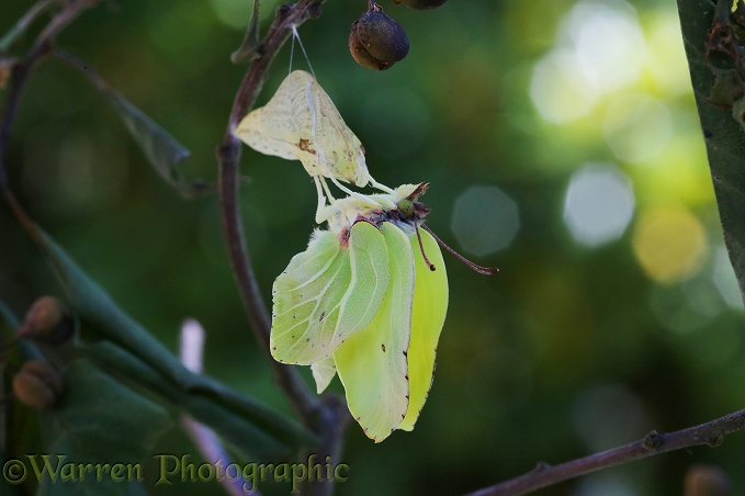 Brimstone Butterfly (Gonepteryx rhamni) expanding wings after hatching from pupa
