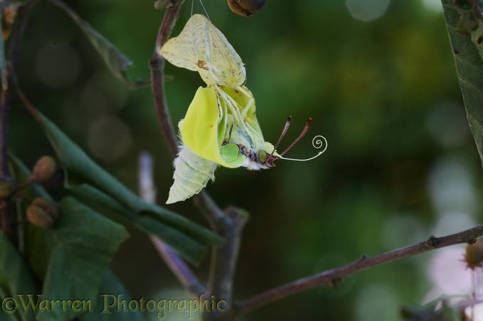 Brimstone Butterfly (Gonepteryx rhamni) hatching from pupa