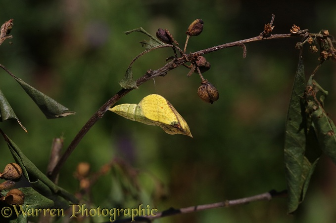 Brimstone Butterfly (Gonepteryx rhamni) pupa about to hatch