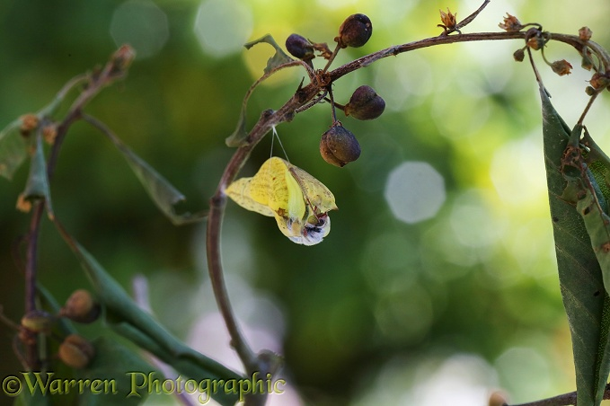 Brimstone Butterfly (Gonepteryx rhamni) starting to hatch from pupa