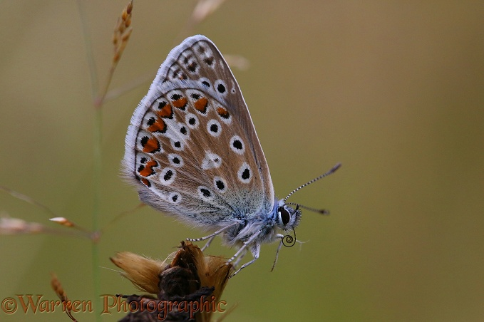 Common Blue Butterfly (Polyommatus icarus) uncoiling tongue 2