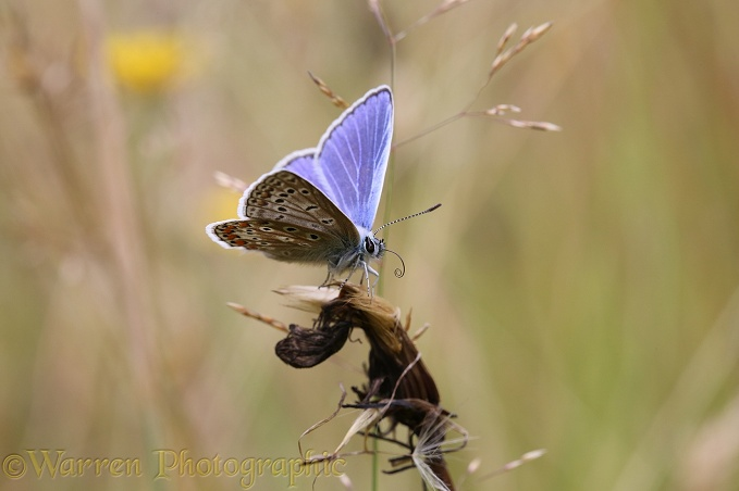 Common Blue Butterfly (Polyommatus icarus) uncoiling tongue