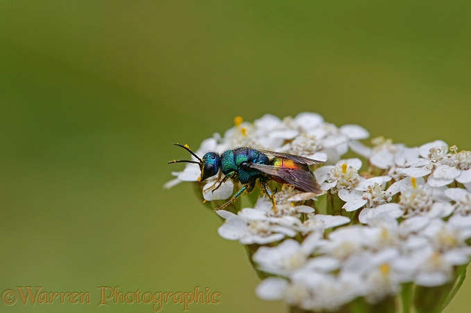 Ruby-tailed Wasp (Chrysis ignita) feeding on Yarrow (Achillea millefolium)