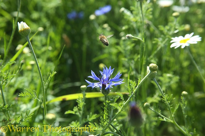 Honey Bee takes off from Cornflower in 'Bee World'