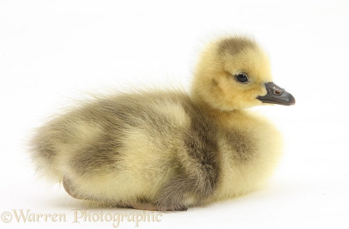 Cute Canada Goose (Branta canadensis) gosling, white background