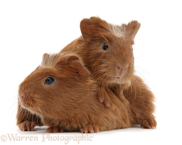 Baby red Guinea pigs, white background