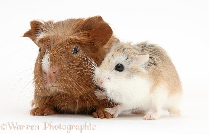Baby red Guinea pig and cute Roborovski Hamster (Phodopus roborovskii), white background
