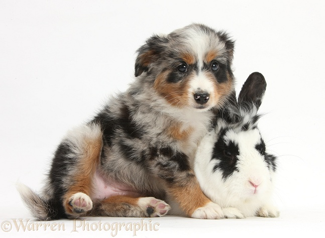 Mini American Shepard puppy with black-and-white rabbit, Bandit, white background