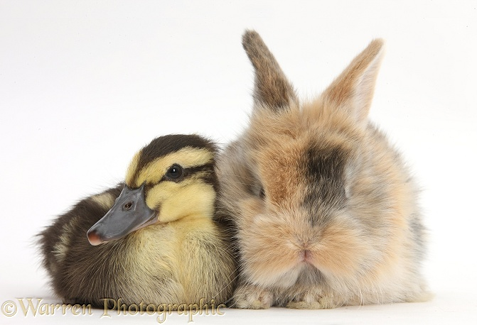 Duckling and baby bunny, white background