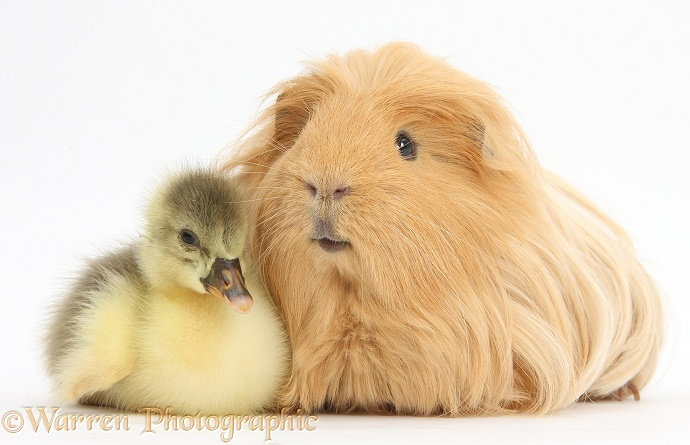 Cute Gosling and hairy Guinea pig, white background