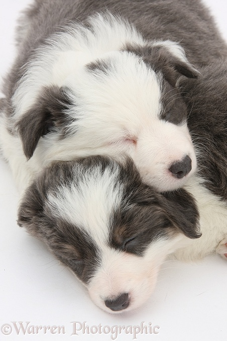 Two blue-and-white Border Collie pups sleeping, white background