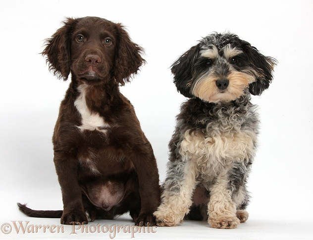 Cute tricolour merle Daxie-doodle dog, Dougal, and chocolate Cocker Spaniel, white background