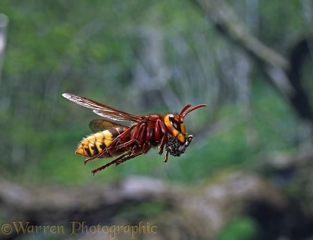 European Hornet (Vespa crabro) worker carrying masticated insect material to the nest