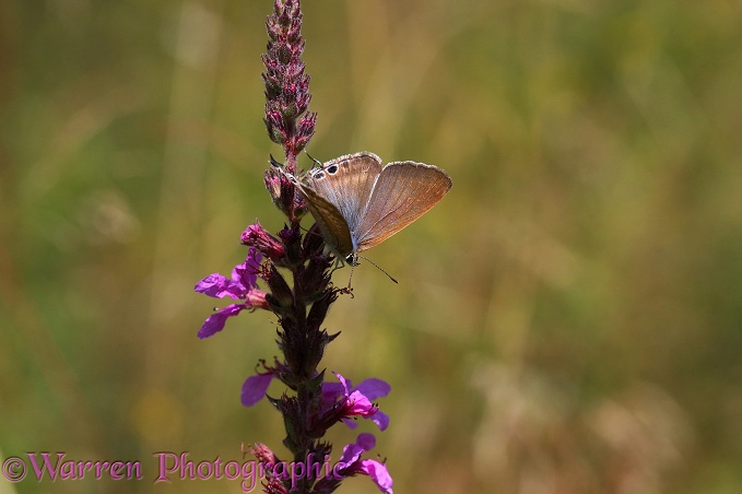 Long-tailed Blue Butterfly (Lampides boeticus) male on Purple Loosestrife