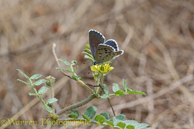 Chequered Blue butterfly (Scolitantides orion)