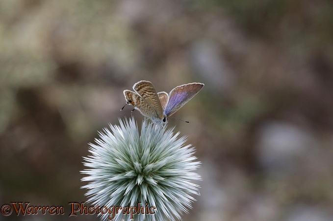 Long-tailed Blue Butterfly (Lampides boeticus) female on Pale Globe-thistle (Echinops sphaerocephalus)