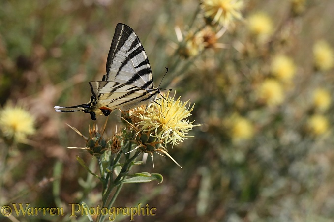 Scarce Swallowtail butterfly (Iphiclides podalirius) on Yellow thistle (Centaurea species)