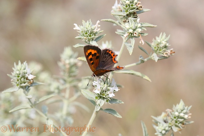 Small Copper butterfly (Lycaena phlaeas) on Horehound (Marrubium peregrinum)