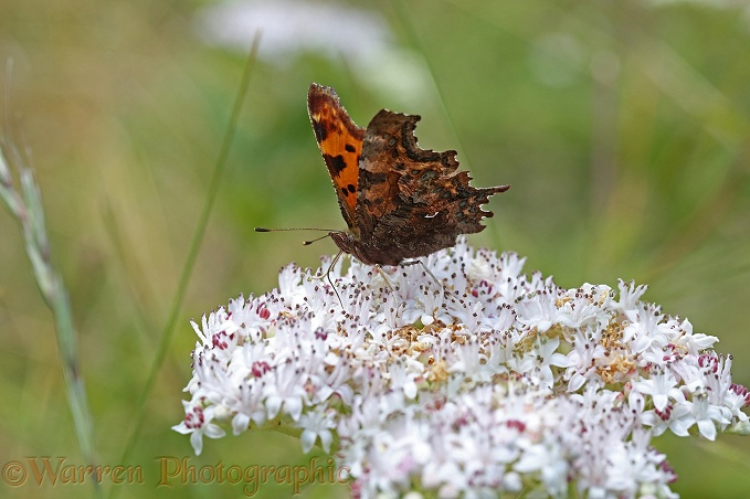 Comma Butterfly (Polygonia c-album) feeding on Dwarf Elder (Sambucus ebulus)