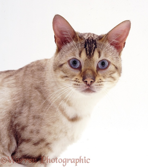 Blue-eyed Sepia-spotted Bengal male cat Lynx, white background