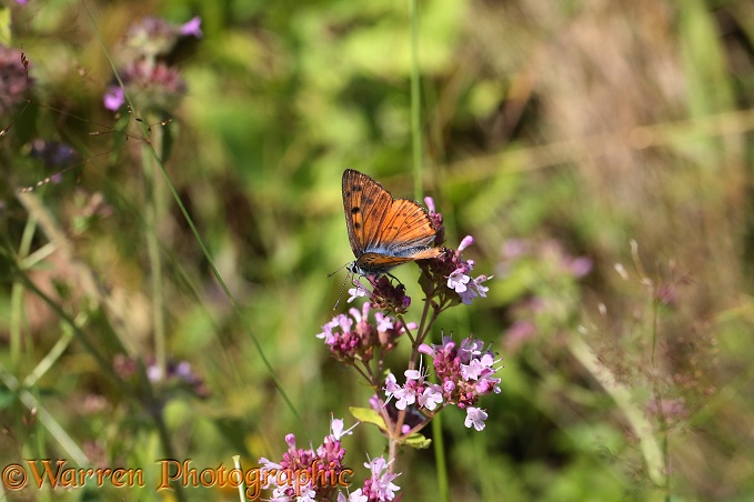 Purple-shot Copper Butterfly (Lycaena alciphron) on Marjoram (Origanum vulgare)