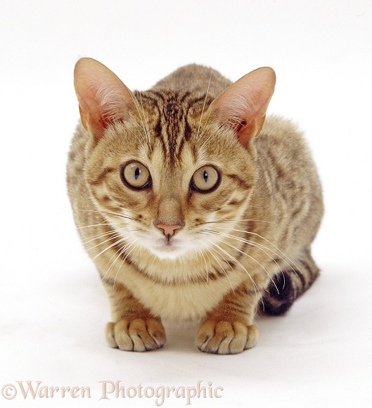 Bengal female cat, Rasha, white background