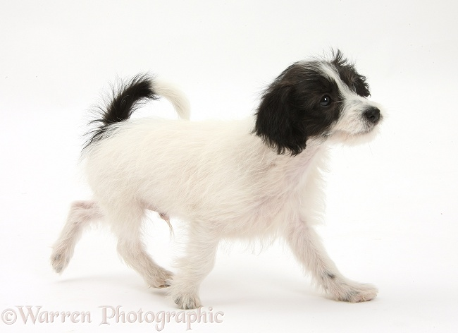 Black-and-white Jack-a-poo dog pup, 8 weeks old, trotting across, white background
