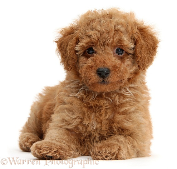 Cute Toy Dog Images