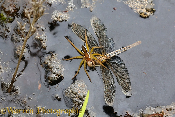 Raft Spider (Dolomedes fimbriatus) female feeding on drowned dragonfly