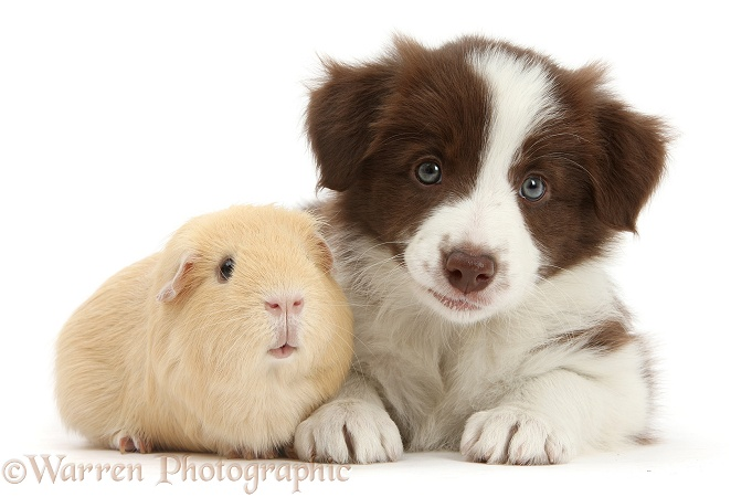 Cute chocolate Border Collie puppy and Guinea pig, white background