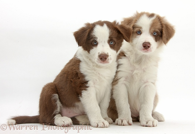 Cute lilac and chocolate Border Collie puppies, 7 weeks old, white background