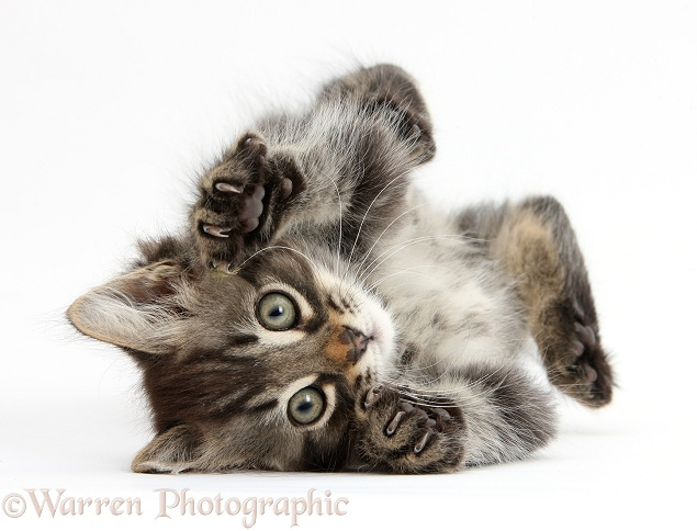 Tabby kitten, Squidge, 10 weeks old, playfully rolling on his back, white background