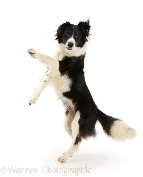 Border Collie bitch, Phoebe, dancing, white background