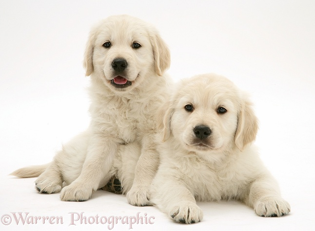 Smiley Golden Retriever pups, white background