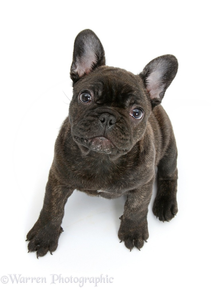 Dark brindle French Bulldog pup, Bacchus, 9 weeks old, sitting and looking up, white background