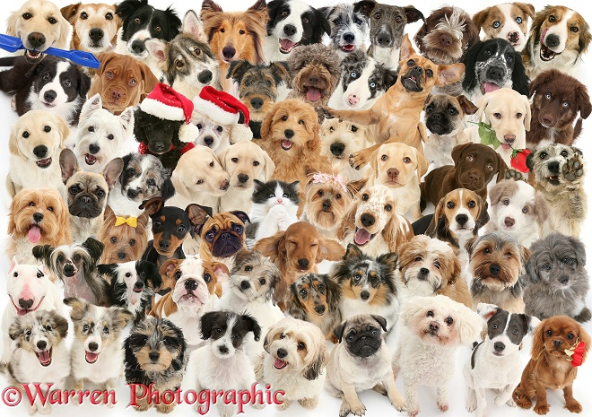 61 dogs and 1 kitten. (Terrier on the right appears as a puppy as well in the top row), white background