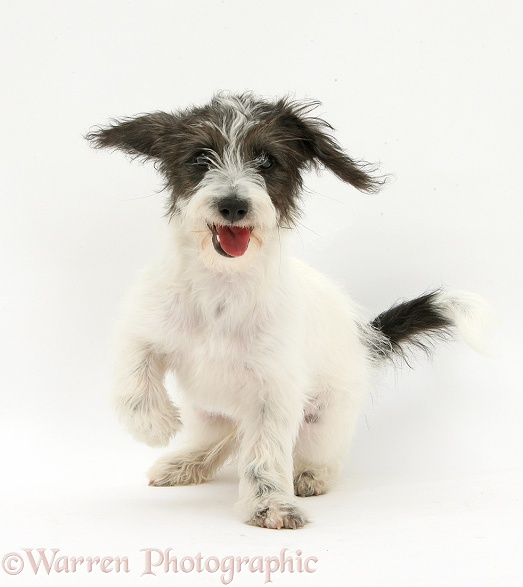 Black-and-white Jack-a-poo dog pup, 4 months old, sitting, white background