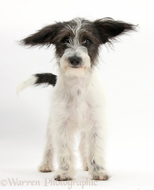 Black-and-white Jack-a-poo dog pup, 4 months old, standing, white background