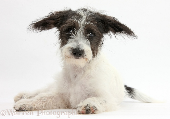 Black-and-white Jack-a-poo dog pup, 4 months old, white background