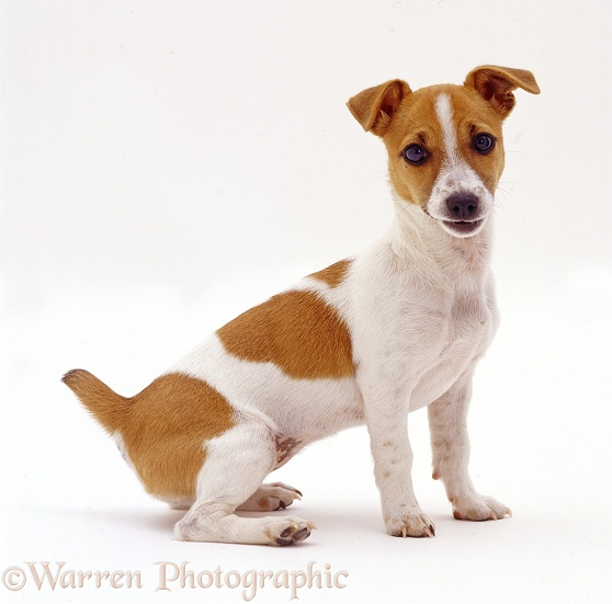 Miniature Jack Russell Terrier bitch pup Megadog, 20 weeks old, sitting, white background