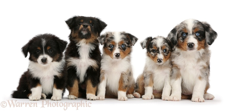 Five Miniature American Shepherd puppies, 7 weeks old, sitting in a row, white background