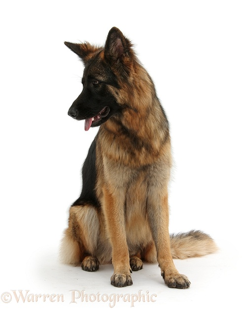 German Shepherd Dog bitch, Coco, sitting and looking to side, white background