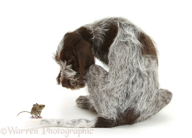 Brown Roan Italian Spinone pup, Riley, 13 weeks old, back view, looking round at Yellow-necked Mouse (Apodemus flavicollis), white background
