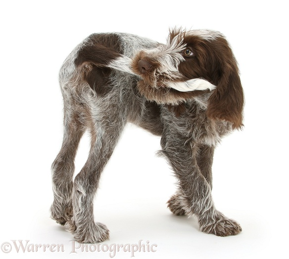Brown Roan Italian Spinone pup, Riley, 13 weeks old, chasing and catching his tail, white background