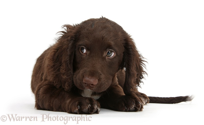 Chocolate Cocker Spaniel puppy looking to side, white background
