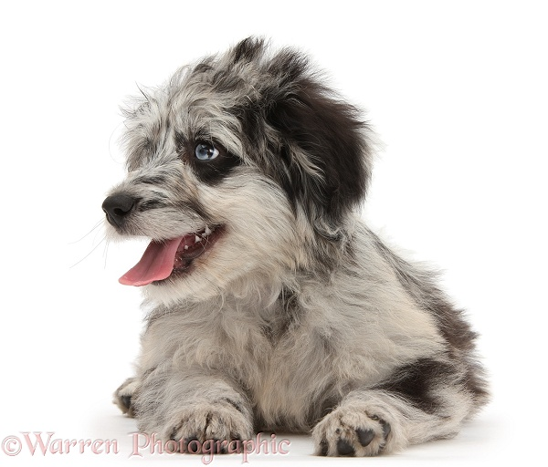 Blue merle Cadoodle puppy looking to side, white background