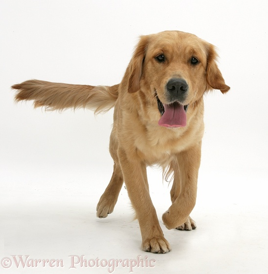 Golden Retriever, Jasmine, trotting forwards, white background