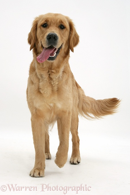 Golden Retriever, Jasmine, walking forwards, white background