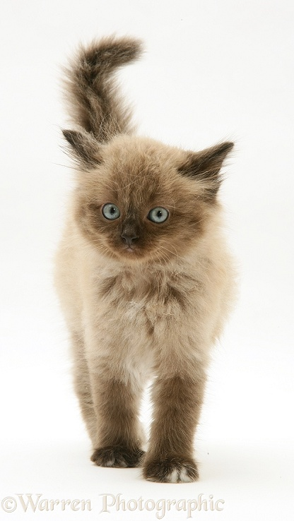 Chocolate Birman-cross kitten walking, white background
